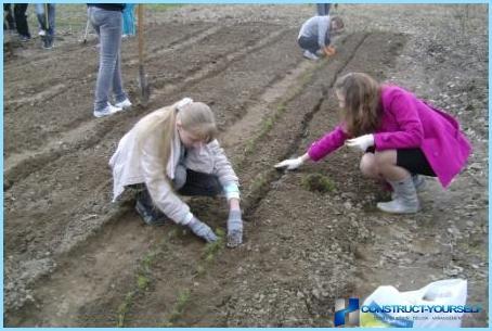 Planting av furu