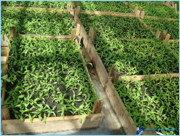 Växthus För Balkong : Hur man gör en uppvärmning av växthus gjorda polykarbonat