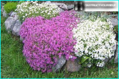 Phlox subulate in rockeries