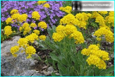 Alyssum rock has honey aroma