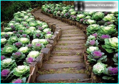 Decorative cabbage - colorful touches to the vegetable garden of