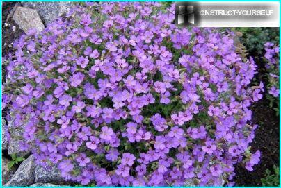 Aubrieta wintering with leaves