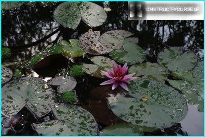 Blumen Nymphen sind für ein paar Tage gehalten