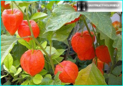 """Chinese lanterns"" fragrant sweet Physalis"
