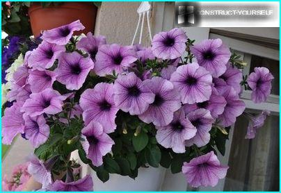Planters and petunias on the balcony