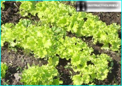Curly lettuce - fresh herbs to the table