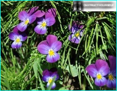 Under the canopy of pine nestled lilies, periwinkles, and violets zhivuchka
