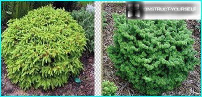 Creeping dwarf spruce and fir Nana