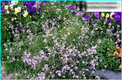 Flea night violets flowers on a background of a bright flower bed