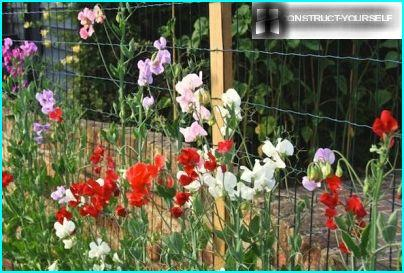 Air wall of sweet peas