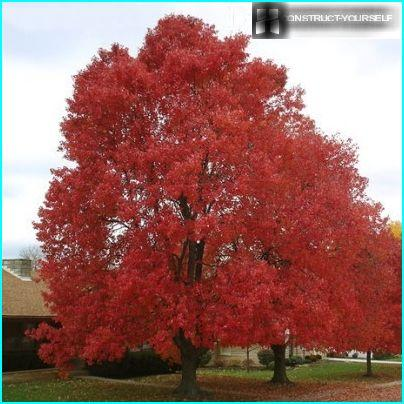Røde træer til haven