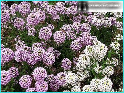 Alyssum - an annual plant with a pronounced flavor