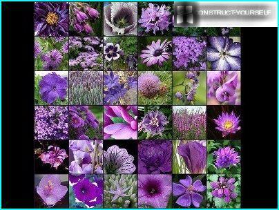 Фіолетове різноманітність рослин