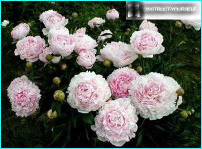 Bush peony flowering period
