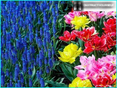 Muscari and tulips