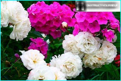 roses and phlox