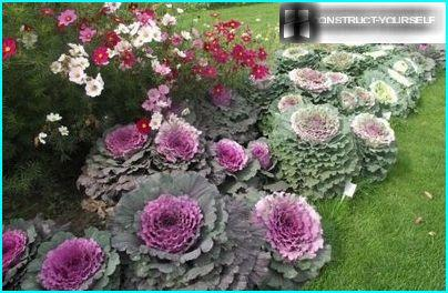 Making flower garden ornamental cabbage