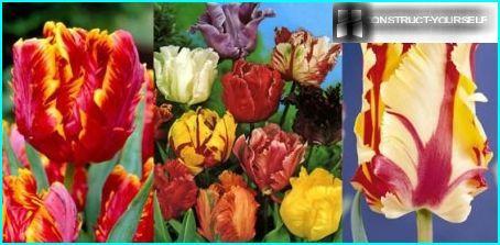 Parrot tulips varieties
