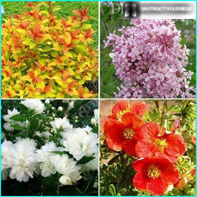 Ornamental varieties of flowering shrubs