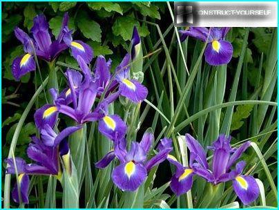 Iris tīklveida