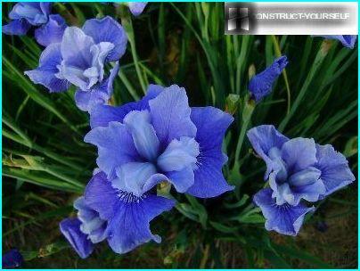 Sibīrijas Iris