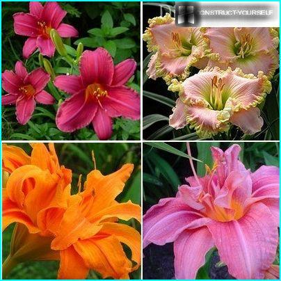 Favorite flower bed Flowering daylilies