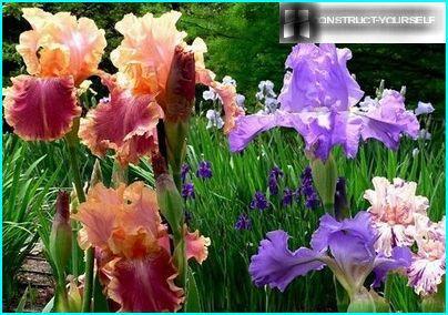 Iespaidīgs skaists iris