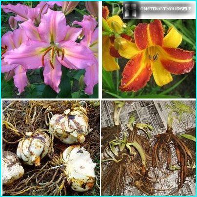 Klar til å transplantere liljer daylily pærer og jordstengler