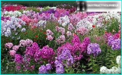 Colourful pillows bushes phlox