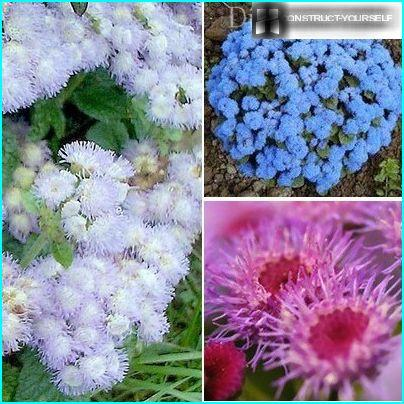 "Fluffy ""clouds"" ageratum"
