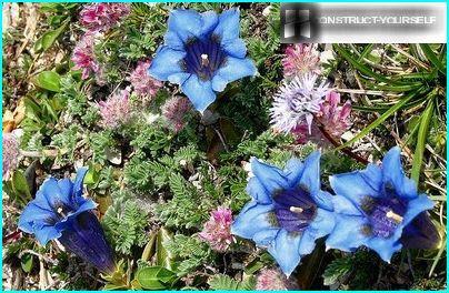 """Blue """"star"""" dwarf gentian"""