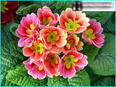 Primroses - spring beauty