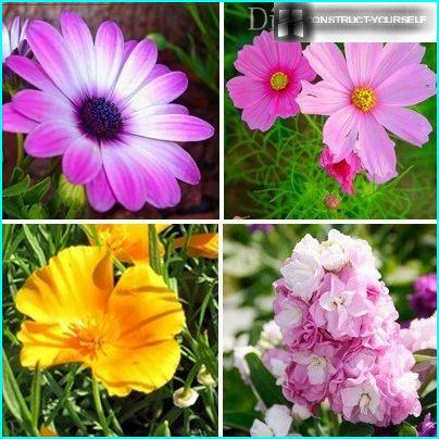 Unpretentious annuals for the garden