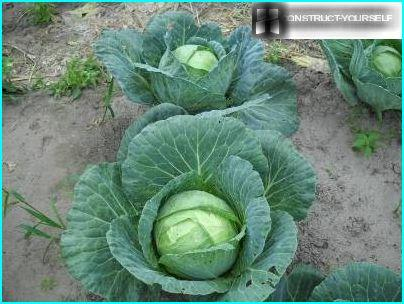 Cleaning cabbage