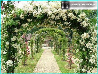 The arches of climbing roses