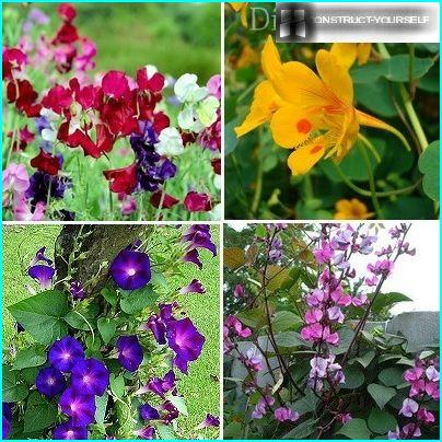 Fast-growing vines annuals