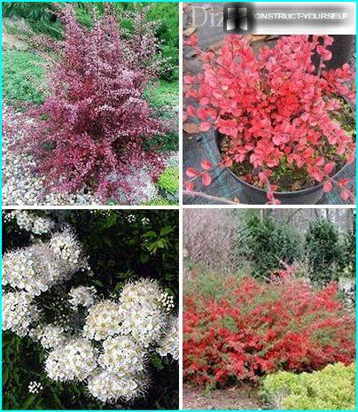 Decorative shapes deciduous shrubs