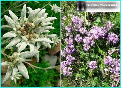 Thyme and edelweiss on the rocks of the mountains