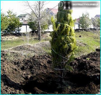 Das Einpflanzen großen Bäumen an eine neue Position