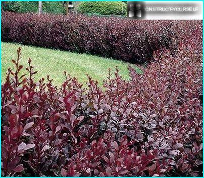 Staket av blommande buskar