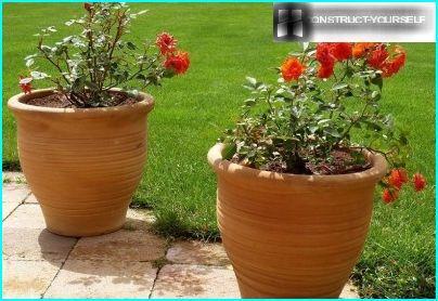 Троянди в вазонах на ділянці