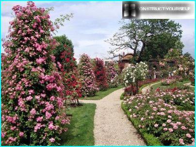 Паркові троянди вздовж алеї