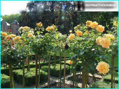 Розарій з штамбових троянд
