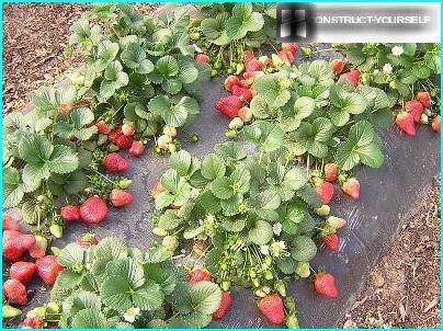 Film pour les fraises