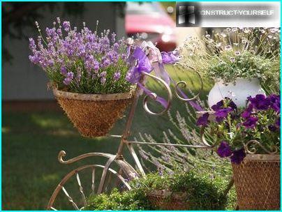 Lavender -2
