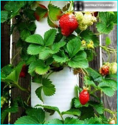 Design for growing strawberries