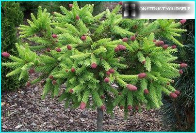 Stam form of a dwarf spruce