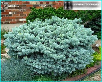 "Blue Beauty """" glauca globosa ''"