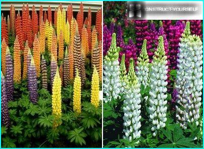 Hybrid varieties of tall lupine