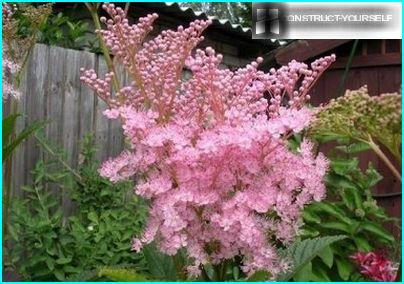 Pink clouds of meadowsweet flower